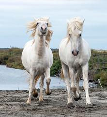 2016 Two Camargue Stallions (15) (maskirovka77) Tags: saintlaurentdaigouze languedocroussillonmidipyrén france languedocroussillonmidipyrénées fr stallion stallions whitehorse whitehorses whitestallion whitestallions createaway photoworkshop