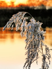Reed at sunset (robin denton) Tags: reed reeds florafauna flora plant wildlifetrust lincolnshirewildlifetrust farings sunset nature naturereserve