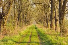 Between trees (Grzesiek.) Tags: aleja wrocław wroclaw wrocławpawłowice polska spring tree wiosna path droga