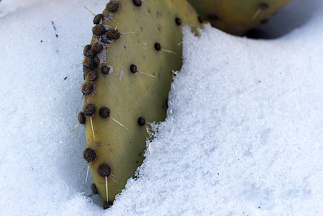 Cactus in the Snow
