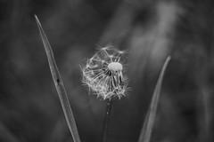 (C-47) Tags: blackwhite flowers helios 442 canon eos 7d mk mark ii m42 bokeh green plant nature dandelion plante fleur pissenlit