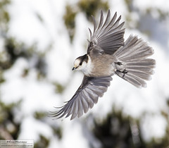 Gray jay (eric marceau) Tags: animal bird gray jay action fly flight snow winter quebec canada wild wildlife