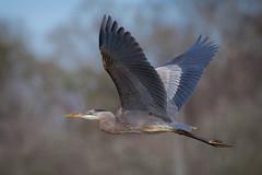 Frequent Flier (gseloff) Tags: greatblueheron bird flight bif wildlife armandbayou pasadena texas kayakphotography gseloff