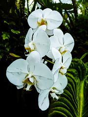 White Orchids (Steve Taylor (Photography)) Tags: art digital black green white asia singapore plant leaves flower texture cloudforest gardensbythebay marinabay orchid