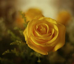 ....simplesmente as rosas exalam, o perfume.... (Martha MGR) Tags: flowers flores nature dof natureza rosas yellowroses beautifulnature beautifulflower shieldofexcellence rosasamarelas