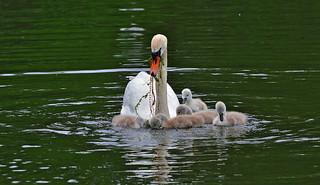 Happy Mute Swan family on the lake Pikku-Vesku (2). Finland. Summer.