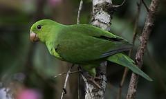 PERIQUITO-RICO (Brotogeris tirica) (Dario Sanches) Tags: brasil natureza ave passaro registro valedoribeira periquitorico brotogeristirica