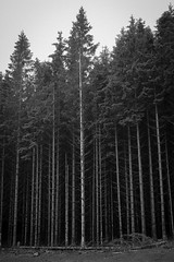 Norwegian Spruce (Eveans Mellonie) Tags: summer bw norway norwegian spruce 2015 erikstad svanoy svanoya