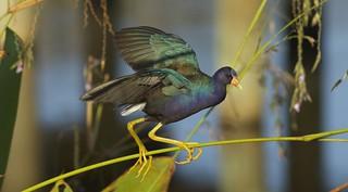 Purple Gallinule (Porphyrio martinica) PUGA  - A Balancing Act & Chicks to feed below...