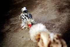 27-248 (ndpa / s. lundeen, archivist) Tags: bali color bird film birds 35mm indonesia nick cock arena dirt southpacific rooster cocks 1970s 27 1972 roosters indonesian cockfight gamecock gamecocks dewolf oceania pacificislands cockfighting nickdewolf photographbynickdewolf cockfightingarena reel27 cockfightarena