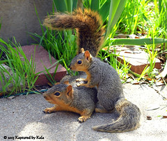 Separation Anxiety Part 11 (Kaptured by Kala) Tags: baby nature concrete squirrel squirrels mother sidewalk motherandbaby babysquirrel separationanxiety foxsquirrel garlandtexas mothersquirrel babyfoxsquirrel