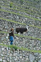 Peru-8557.jpg (Matt and Debbie) Tags: peru llama 2015 wayna winaywayna wiñay
