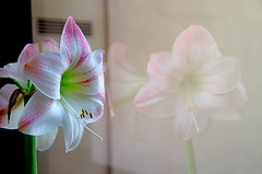 Lonely Amarylis (Argustar Photography) Tags: pink flower reflection window glass mirror stem image pistil amarylis shutterstock