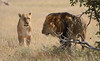 How to Shoot a Lion (Pete Foley) Tags: africa lion conservation safari stupid lions shooting jericho namibia elsa senseless cecil etosha incensed stophunting overtheexcellence pinnaclephotography beautiesbeasts cowardlydentist