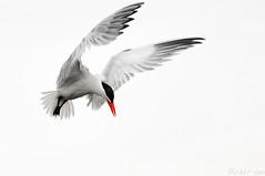 2015-08-08 Caspian Tern (01) (1024x680) (-jon) Tags: anacortes skagitcounty washingtonstate fidalgoisland sanjuanislands pugetsound padillabay marchpoint fidalgobay caspiantern hydroprognecaspia tern bird flight flying a266122photographyproduction black white red rbp 1588 277208 seagull oiseau vogel pássaro pájaro ibon skagit 12523213 1742