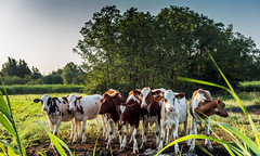 Say cheese (Jorden Esser) Tags: trees rural cows group meadow middendelfland nederlandvandaag