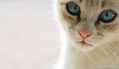 Cat (Elvira DMT) Tags: blue white eye blanco cat big eyes blanca gato meow miau