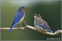 and for breakfast we have... (Earl Reinink) Tags: blue ontario bird nature flickr niagara earl bluebird bait baiting easternbluebird naturephotography earlreinink reinink baitingbirds aurdzdzdoa