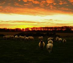 Year's End - Sunset Flock (EmPhoto.) Tags: emmiejgee landscapepassion newbeginning sheep rural sunset