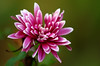 Here We Are Again ... (AnyMotion) Tags: chrysanthemum chrysantheme blossom blüte petals blütenblätter 2016 floral flowers frankfurt frontgarden vorgarten plants anymotion colours colors pink rosa white weiss 7d2 canoneos7dmarkii macro makro makroaufnahmen winter hiver invierno ngc npc