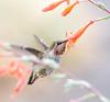 Sweet's 4 Anna. (Omygodtom) Tags: outdoors nikkor bokeh bird animal animalplant anashummingbird flower flickr tannersprings oregon nature nikon natural portrait perspective dof digital diamond star wild wildlife