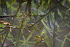 Fishing Spider Hunting (jeff_a_goldberg) Tags: winter nathab naturalhabitatadventures laselva laselvabiologicalstation costarica heredia cr