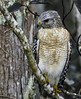 Red Shouldered Hawk (C. P. Ewing) Tags: bird birds animal animals hawk predator raptor nature natural outdoor outdoors avian redshouldered tree wildlife