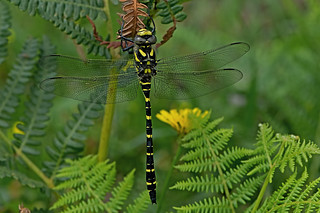 Cordulegaster boltonii - the Goldenring Dragonfly (male)