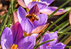 Purple Crocus and Honey Bee (AngelVibePhotography) Tags: nikon blossom closeup blossoms nature springflowers photography garden outdoor northcarolina colorful purple bee nikonp900 insect crocus macro bees flowers insects flower brightcolors