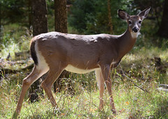 Biche Omega (7) (DomyNature) Tags: parcomega biche