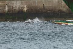 IMG_5874 (monika.carrie) Tags: monikacarrie wildlife scotland aberdeen dolphins dolphin cetacean mammal