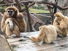 シロテテナガザル (yuki_alm_misa) Tags: シロテテナガザル サル largibbon 白手手長猿 猿