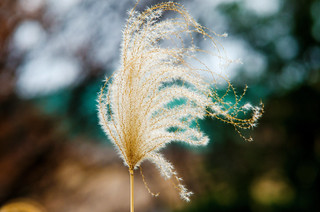 Japanese Silver Grass : ススキ