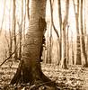 rolleiflex promenade (Claudio Taras) Tags: claudio contrasto controluce taras trier tlr toned 6x6 film tree alberi fomapan rodinal150 rolleiflex35f rodinal rollfilm analogica analogico bw bokeh biancoenero bokehlicious albero pianta bosco monocromo hanks