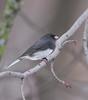 Dark-eyed Junco (fotogaffer1) Tags: em1ii birds 300mmf4