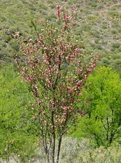 Lanternbush (Nymania capensis) (berniedup) Tags: nymaniacapensis lanternbush plant meliaceae taxonomy:binomial=nymaniacapensis derust