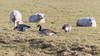 Canada geese (Branta canadensis) grazing with sheep (Ian Redding) Tags: anatidae aves brantacanadensis british canadageese canadagoose european uk bird duck eating fauna feeding field flock fowl geese goose grass grazing herd nature sheep water wildlife