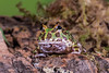 Green Horned Frog (Linda Martin Photography) Tags: dorset wildlife bournemouth nature ceratophrysornata reptile canon5dmarklll uk greenhornedfrog coth coth5 naturethroughthelens ngc npc