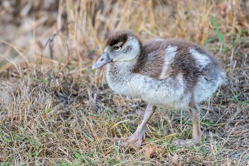 Juvenile Egyptian Goose  |  NIlgans