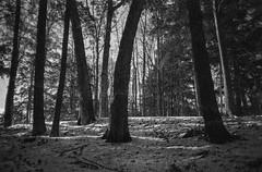 Extreme Grain 2 (patrickkuhl) Tags: eagleriver winter snow trees cold shadows landscape nature blackwhite blackandwhite monochrome film filmcamera filmisnotdead filmphotography analog 35mm olympus olympusxa xa kodak panatomicx kodakd76 d76 selfdeveloped expired expiredfilm grain extremegrain reticulated reticulation reticulatedemulsion