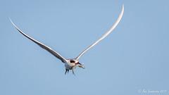 Forster's Tern (Bob Gunderson) Tags: birds california forsterstern heronshead northerncalifornia sanfrancisco sternaforsteri terns
