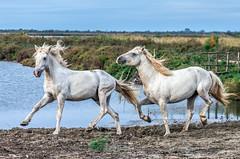 2016 Two Camargue Stallions (20) (maskirovka77) Tags: saintlaurentdaigouze languedocroussillonmidipyrén france languedocroussillonmidipyrénées fr stallion stallions whitehorse whitehorses whitestallion whitestallions createaway photoworkshop