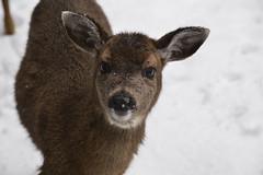 I have a boo boo (shireye) Tags: comox valley comoxvalley bc britishcolumbia vancouverisland fawn booboo nikon d610 24120 ff fullframe fx myyard deer winter snow