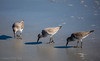 Quick Feeders (Gabriel FW Koch) Tags: outdoor animal outside bird pipers waterfowl aquaticbird beach sand ocean water waves surf wow bokeh canon depthoffield wild wildlife telephoto