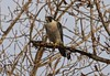 Peregrine Falcon (Terrance Carr) Tags: 201446 brunswick ferry dncb terry carr terrycarr 20141119 2014 november