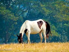 Indian Horse (SuvadipGuhaD5200) Tags: horse animal nikon landscape professionallandscape india