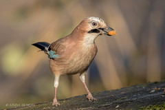 Jay (Linda Martin Photography) Tags: jay birds garrulusglandarius uptoncountrypark wildlife dorset uk nature coth greatphotographers naturethroughthelens ngc