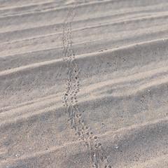 baby turtle tracks (lemank) Tags: beach tracks footprints