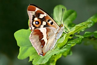 The Purple Emperor (Apatura Iris)