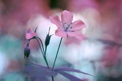 Pelargonium (Mah Nava) Tags: pink flower spring blume geranium frühling cranesbill pelargonium geraniaceae cranesbillgeranium hardygeranium botanischergartenhamburg